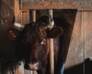 franca-treur-krowa